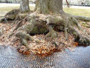 live oak roots