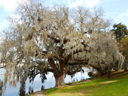 Seabrook Oak by water