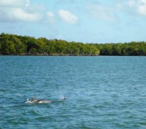 everglades dolphins